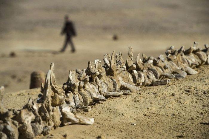 музей ископаемых животных в египете 8 (700x466, 260Kb)