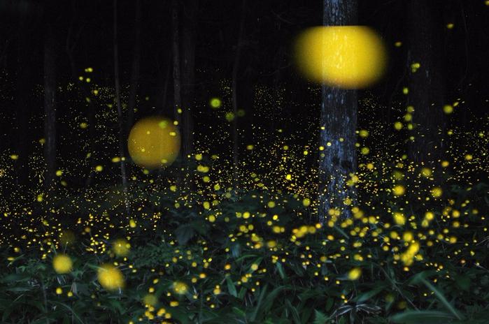 1-Лес светлячков в Японии от Цунеяки Хирамацу (700x464, 403Kb)