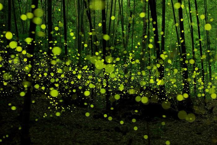 5-Светлячки РІ СЏРїРѕРЅСЃРєРѕРј лесу РІ РіРѕСЂРѕРґРµ Нагоя (фотограф - Такааки Р<br /> <br/><br/><br /> <br />