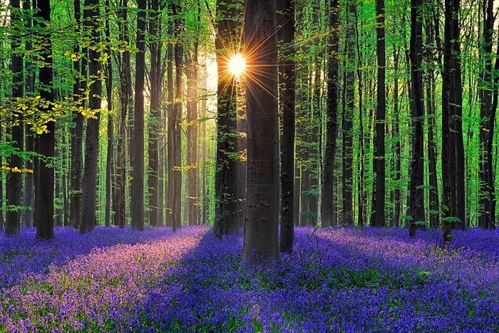 4 - Сонце живописно освещает цветущие синие колокольчики (700x467, 599Kb)