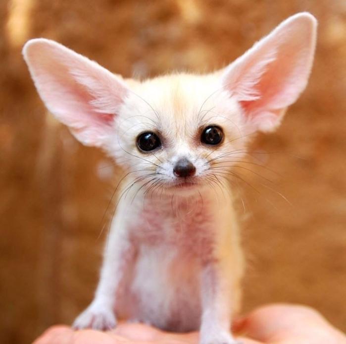 3. Самая маленькая лиса с большими ушами — фенек (700x694, 350Kb)