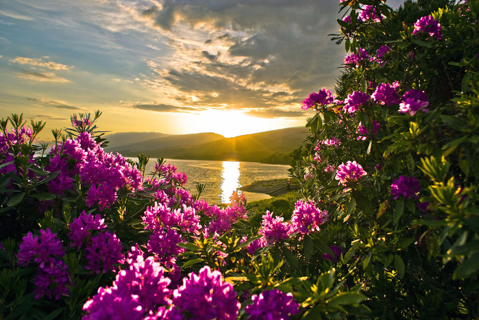 527007__pink-flowers-in-sunset_p (700x467, 533Kb)
