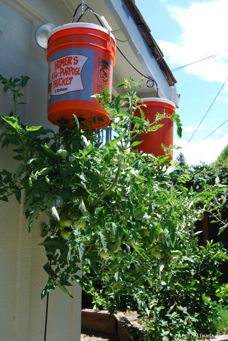 How-to-Grow-Tomatoes-Upside-Down3 (468x700, 315Kb)