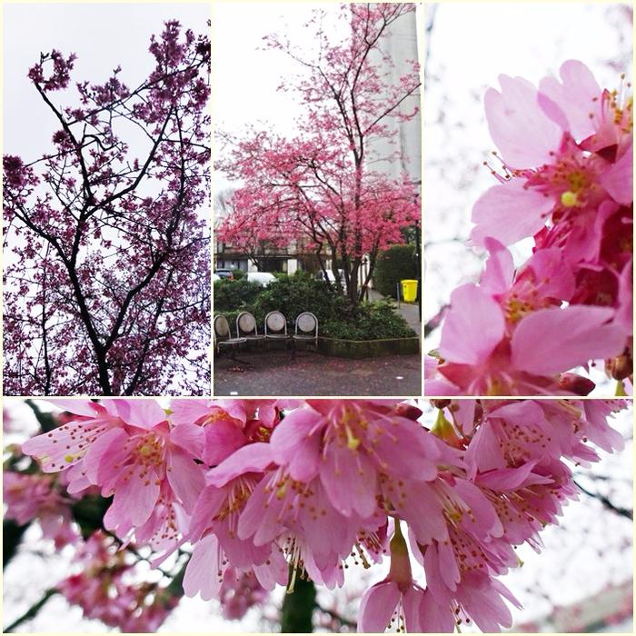 Февраль 2016, в Дюссельдорфе цветёт миндаль
