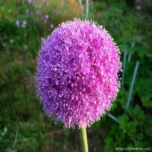 100 Purple Giant Allium Giganteum Beautiful Flower Seeds Garden Plant the budding rate 95% rare flower for kid/5863438_100PurpleGiantAlliumGiganteumBeautifulFlowerSeedsGardenPlantthebuddingrate95rareflower3 (500x500, 153Kb)