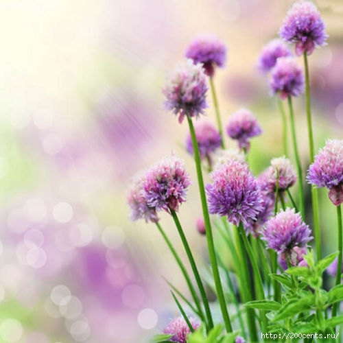 100 Purple Giant Allium Giganteum Beautiful Flower Seeds Garden Plant the budding rate 95% rare flower for kid/5863438_100PurpleGiantAlliumGiganteumBeautifulFlowerSeedsGardenPlantthebuddingrate95rareflower4 (500x500, 116Kb)