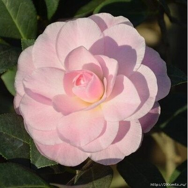 Camellia four seasons household rare flower seeds indoor garden potted plant bonsai seeds free shipping size 1.5cm 2pcs SA0015/5863438_Kameliichetiresezonabitovoisemyanredkihcvetovvnytrenniisadrastenievgorshkebonsaibesplatnayadostavkarazmer10 (602x600, 153Kb)