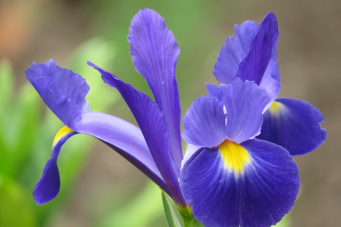 шмель,ирис,цветок,лето  № 529627 без смс