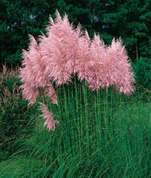пампасная трава 4 (511x600, 282Kb)