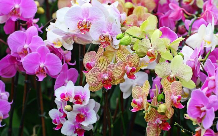orhidei-foto-15-e1418596699769 (700x438, 106Kb)