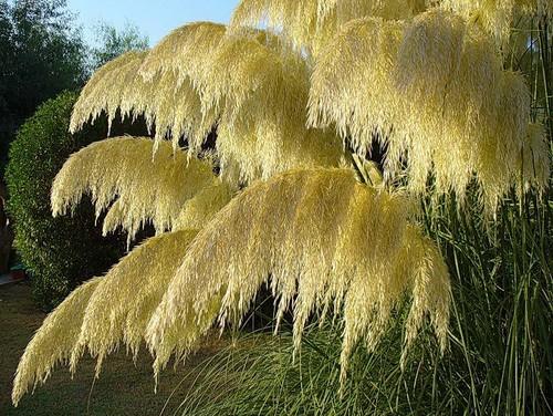 пампасная трава 16 (500x376, 316Kb)