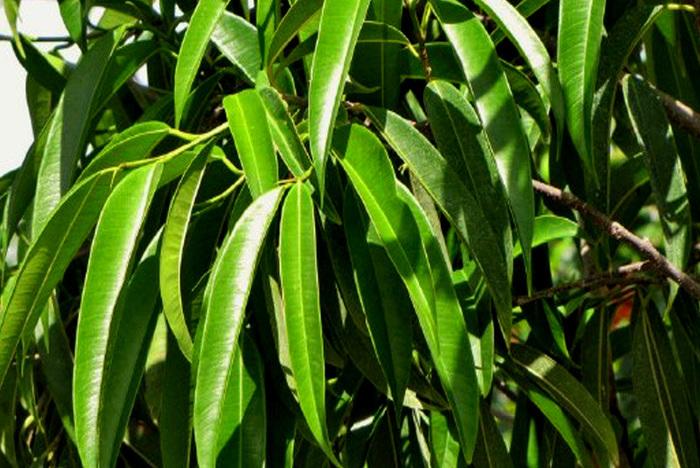 Ficus-binnendijkii-alii-800x535 (700x468, 176Kb)