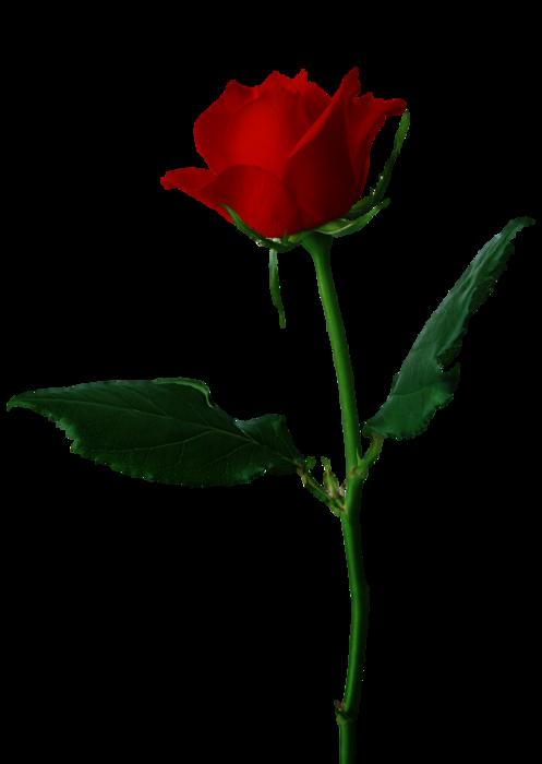 5495565_Rose2 (497x700, 112Kb)