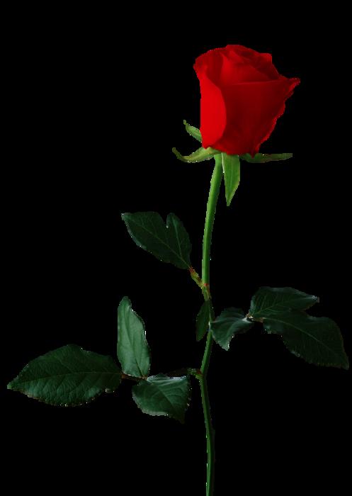 5495565_Rose4 (497x700, 123Kb)