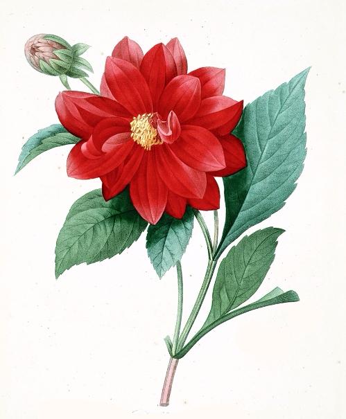 Pierre-Joseph-RedouteМЃ-flower-painting-7 (499x605, 277Kb)