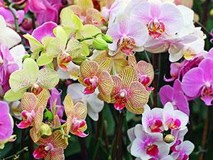 phalaenopsis0 (300x225, 35Kb)