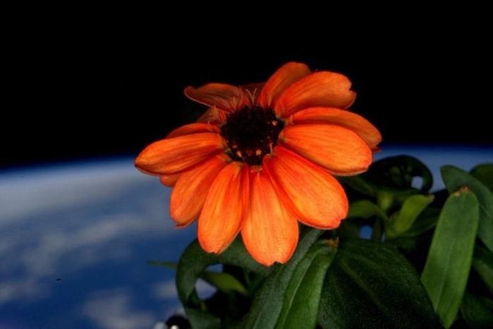 цинния в космосе 2 (700x466, 207Kb)