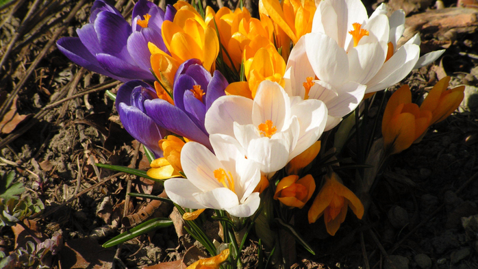 Nature___Flowers_Spring_crocus__066222_23 (700x393, 400Kb)
