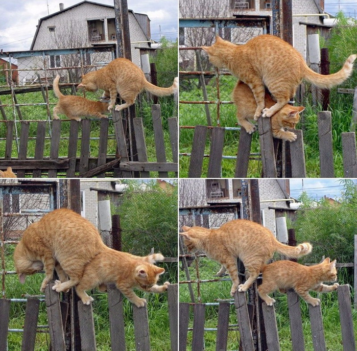 2cats-1fence (700x687, 625Kb)