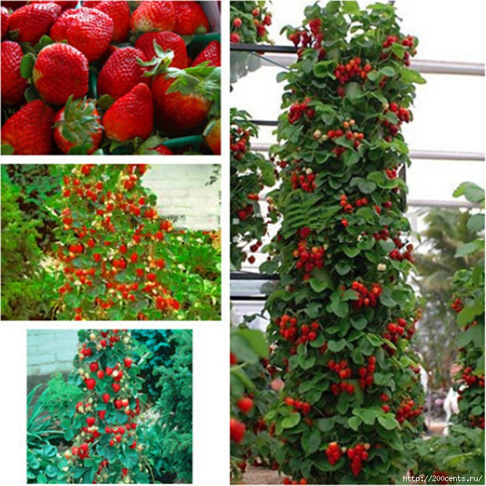 Giant Climbing Strawberry Seeds & Rare Color Strawberry Fruit seeds home Garden DIY for bonsai 20pcs/5863438_GiantClimbingStrawberrySeedsRareColorStrawberryFruitseedshomeGardenDIYforbonsai20pcs3_1_ (700x700, 356Kb)