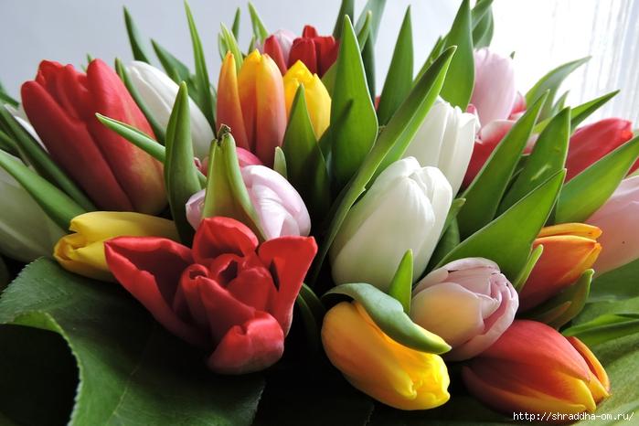 Тюльпаны ДР (9) (700x466, 232Kb)