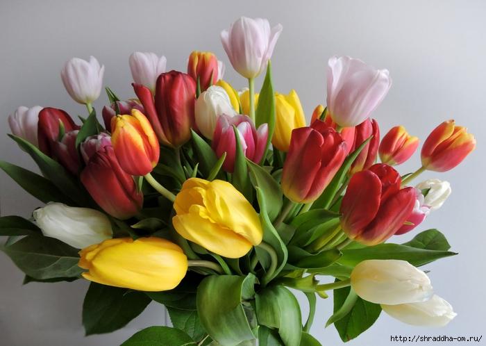 Тюльпаны ДР (21) (700x498, 239Kb)