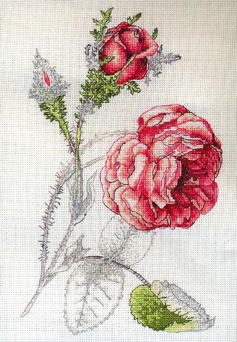 Rosa centifolia  Muscosa1 (484x700, 452Kb)