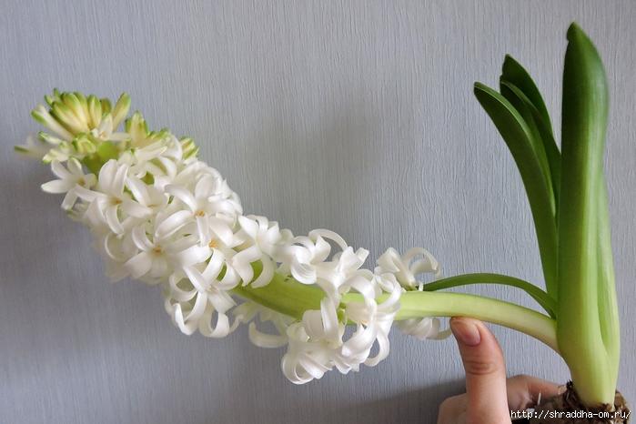 белый гиацинт (1) (700x466, 231Kb)