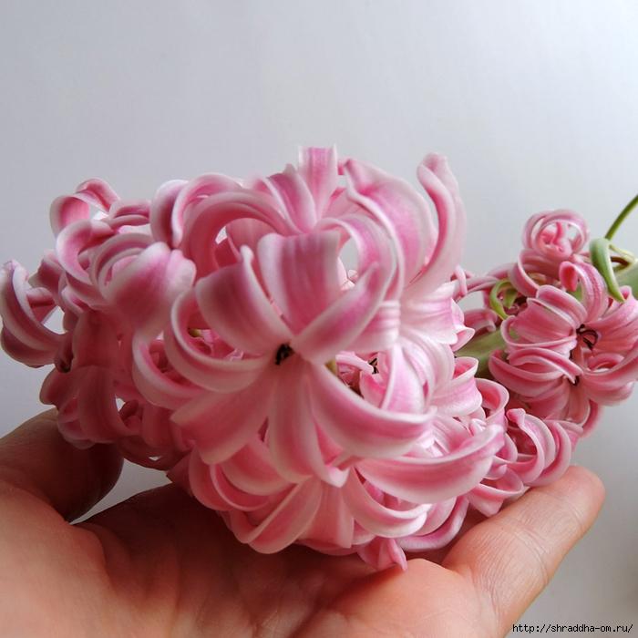 гиацинт розовый (14) (700x700, 281Kb)