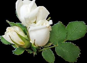 default-роза белая (300x218, 87Kb)