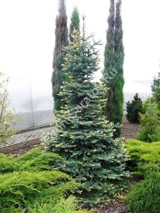 Ель колючая биалобок в дизайне сада