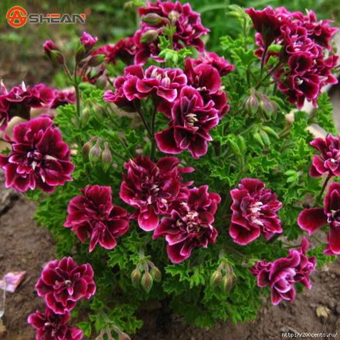 Balcony Potted Red and White Geraniums Flower Seeds Potted Plants Diy Home Garden 20 Pieces / Lot/5863438_BalconyPottedRedandWhiteGeraniumsFlowerSeedsPottedPlantsDiyHomeGarden20PiecesLot4 (700x700, 391Kb)