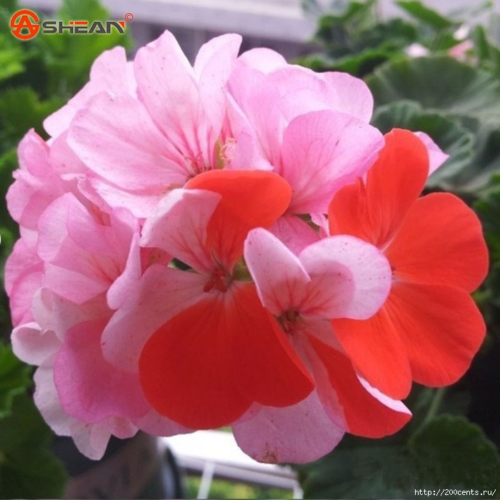 Balcony Potted Red and White Geraniums Flower Seeds Potted Plants Diy Home Garden 20 Pieces / Lot/5863438_BalconyPottedRedandWhiteGeraniumsFlowerSeedsPottedPlantsDiyHomeGarden20PiecesLot6 (700x700, 221Kb)