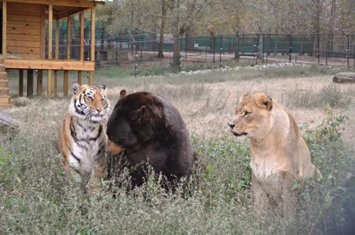 Невероятная история дружбы льва, тигра и медведя