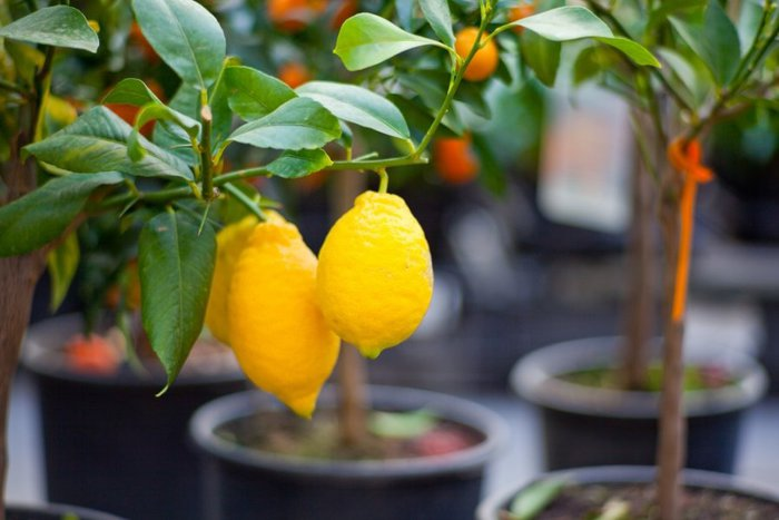 5852415_Citrus_tree_1 (700x467, 51Kb)