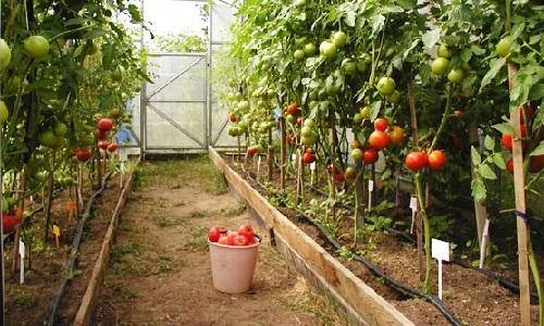 5420033_tomatoes2 (500x300, 85Kb)