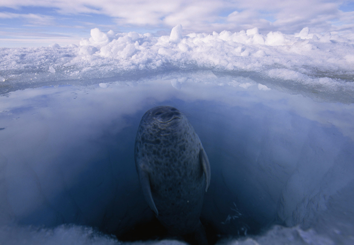 Photo_by_Paul_Nicklen-9 (700x484, 299Kb)