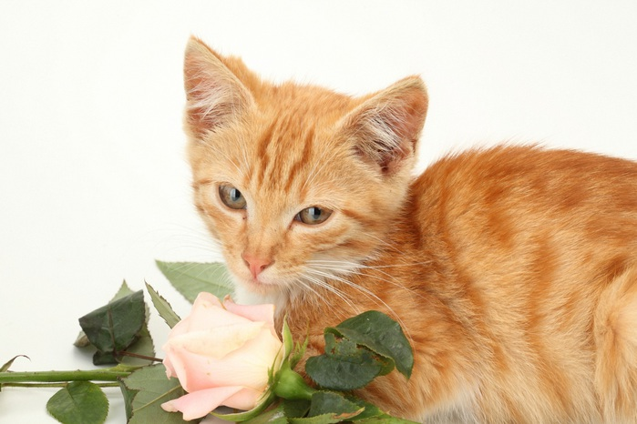 6010135_Cats_Roses_Ginger_color_475304_2_ (700x466, 93Kb)