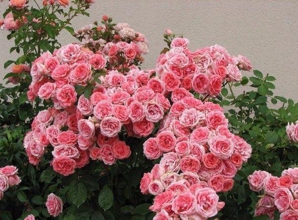 rozy (604x447, 98Kb)