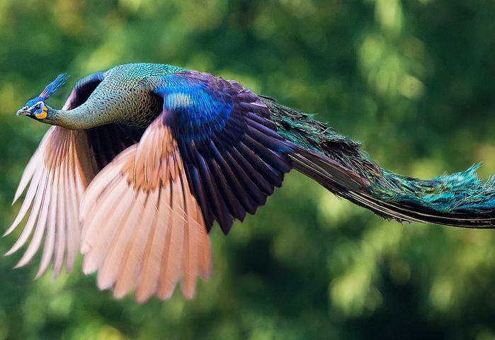 flying-peacock-20 (700x480, 388Kb)