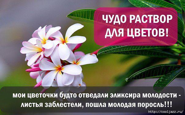 5365358_Recept_chydorastvora_dlya_samih_beznadejnih_cvetov (604x377, 137Kb)