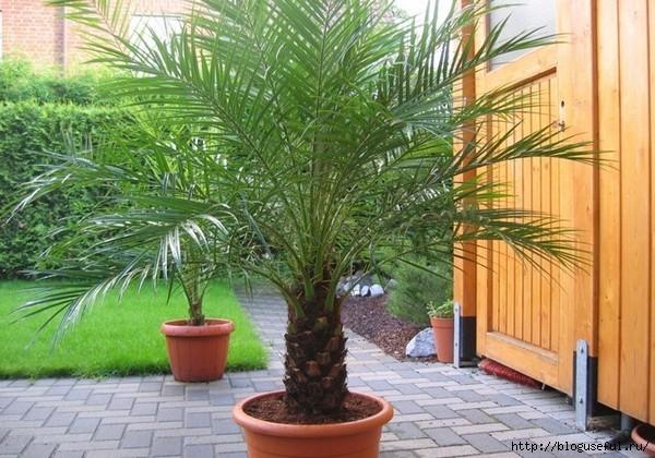 финиковая пальма (600x420, 220Kb)