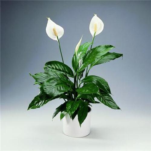 5873111_Spathiphyllum2014 (500x500, 26Kb)
