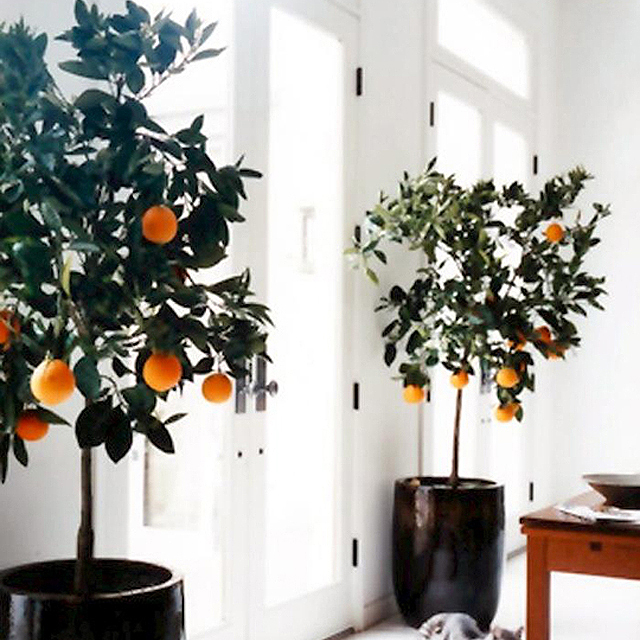 PageImage-492245-4496877-indoorcitrus1 (640x640, 453Kb)