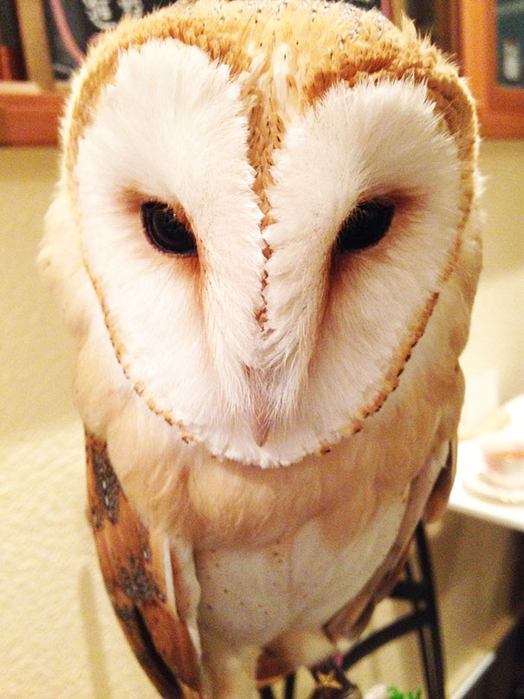 owl-cafe-sviter-co-6 (524x700, 421Kb)