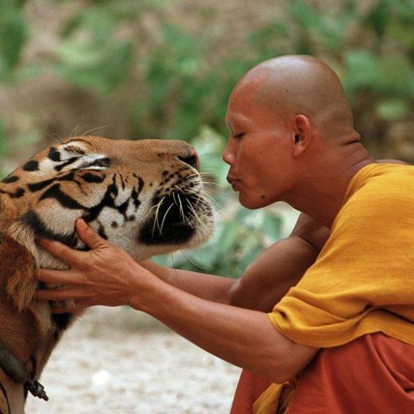 Буд. монах целует тигра. (590x590, 46Kb)