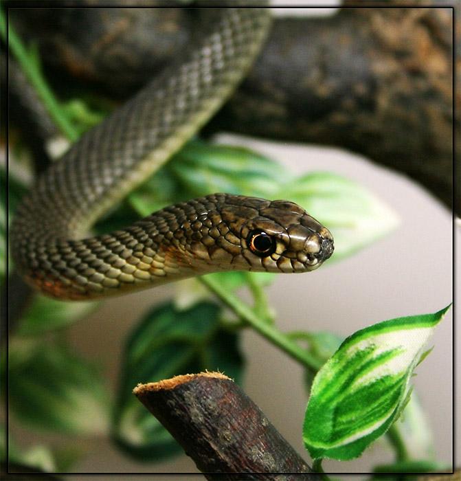 ядовитых змей с названиями
