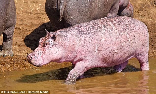 Brothers Will and Matt Burrard-Lucas stumbled across this rare pink hippopotamus in Kenya  Read more: http://www.dailymail.co.uk/news/article-1315917/Pink-hippopotamus-images-captured-Masai-Mara-Kenya.html#ixzz2A8khjgyT