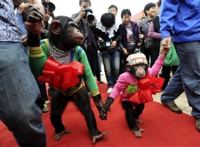 Символическая свадьба шимпанзе парке дикой природы  в Хэфэй, Восточный Китай, провинция Аньхой, 28 сентября 2010 года.