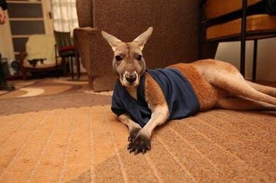 Домашний кенгуру 7